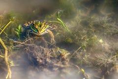 Лягушка в воде Стоковая Фотография RF