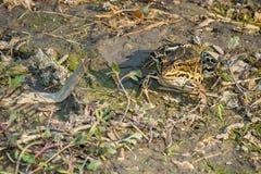 Лягушка в грязи Стоковое фото RF