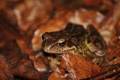Лягушка в лесе Стоковая Фотография