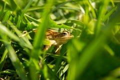 Лягушка в зеленой траве Стоковое фото RF
