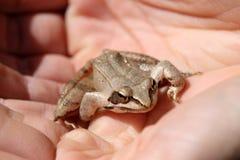 Лягушка в наличии Стоковые Изображения RF