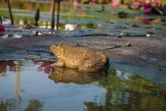 Лягушка в природе Стоковая Фотография