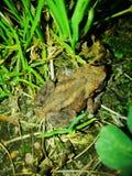 Лягушка в природе Стоковое Изображение