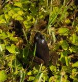 Лягушка в пруде лета стоковая фотография
