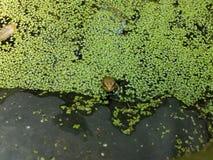 Лягушка в пруде заполненном водорослями Стоковая Фотография