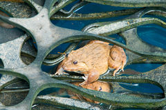 Лягушка в пруде Стоковые Изображения RF