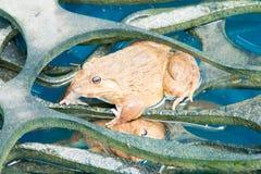 Лягушка в пруде Стоковая Фотография