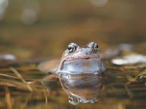 Лягушка в пруде Стоковое фото RF