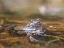 Лягушка в пруде Стоковое Фото