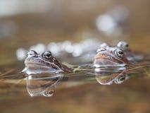 Лягушка в пруде Стоковое Изображение