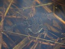 Лягушка в пруде Стоковые Фотографии RF