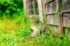Лягушка в саде за домом стоковые фотографии rf