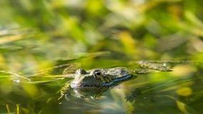 Лягушка в среду обитания воды Стоковая Фотография RF
