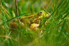 Лягушка в траве Стоковые Фотографии RF