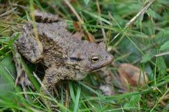 Лягушка в траве Стоковые Изображения