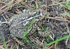 Лягушка в траве Стоковые Изображения RF