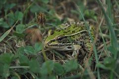 Лягушка в траве Стоковые Фото