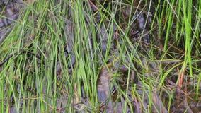Лягушка в травянистых заболоченных местах подпрыгивает прочь акции видеоматериалы