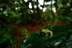 Лягушка в троповой среде обитания Лягушка Fleschmannстеклянная, fleischmanni Hyalinobatrachium, среда обитания природы, Стоковая Фотография RF