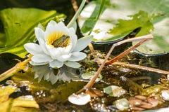 Лягушка в цветке Стоковое Изображение