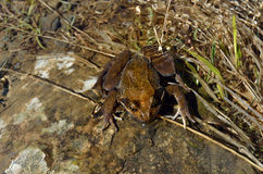 Лягушка в streamlet стоковое изображение rf