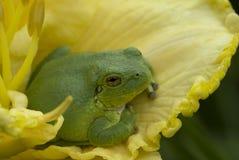 Лягушка дерева на желтом daylily Стоковая Фотография RF