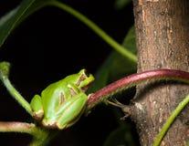 Лягушка дерева сидя на ветви Стоковые Изображения RF
