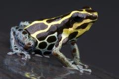 Лягушка дротика Амазонкы Стоковое Изображение RF