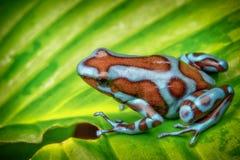 Лягушка дротика отравы, синь auratus Dendrobates супер morph стоковые фотографии rf