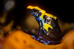 Лягушка дротика отравы, tinctorius Dendrobates Стоковое Изображение