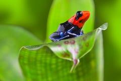 Лягушка дротика Стоковое Фото