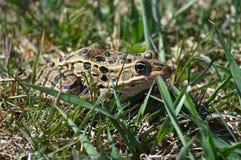 Лягушка леопарда Стоковая Фотография