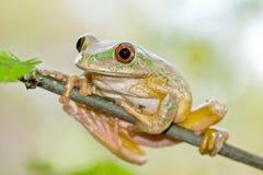 Лягушка лесного дерева (natalensis Leptopelis) Стоковое Изображение