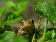 Лягушка жабы Стоковое Изображение