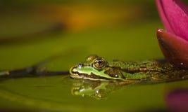 лягушка зеленая немногая Стоковые Изображения RF