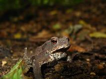 Лягушка земли Стоковые Фото