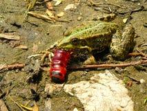 Лягушка и гусеница Стоковое Изображение RF