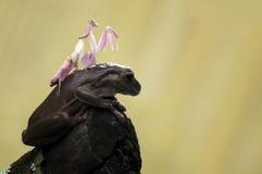 Лягушка и mantis Стоковое Изображение RF