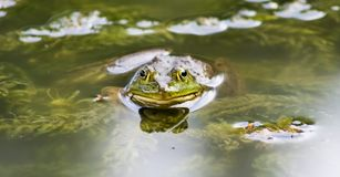 Лягушка которая засовывает его голову на воде стоковая фотография rf