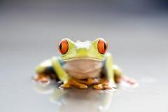 лягушка крупного плана Стоковые Изображения RF