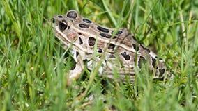 Лягушка леопарда в траве Стоковое Изображение RF