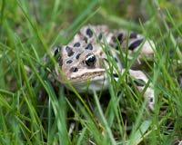 Лягушка леопарда в траве Стоковые Фотографии RF