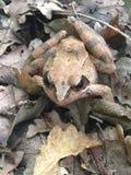 Лягушка леса Стоковые Изображения RF