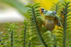 Лягушка летания Стоковое Фото