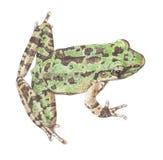 Лягушка Лягушки-schmaker Стоковые Изображения RF