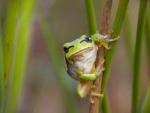 лягушка малая Стоковые Фотографии RF