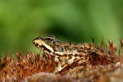 лягушка мшистая Стоковые Изображения RF