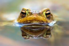 Лягушка наблюдает (bufo Bufo) Стоковые Фото