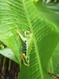Лягушка наблюданная красным цветом Коста-Рика стоковые изображения