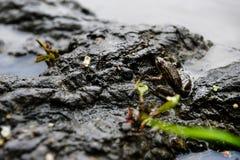 Лягушка на дереве в реке Стоковое Изображение RF